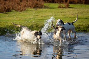 splashing hounds