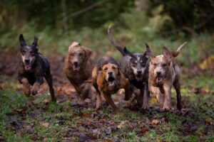 running hounds